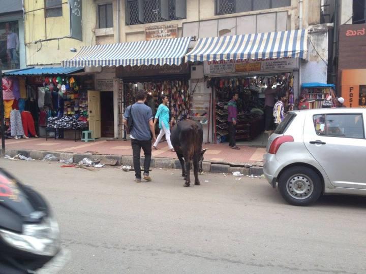 india cow